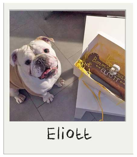 Eliott the English Bulldog