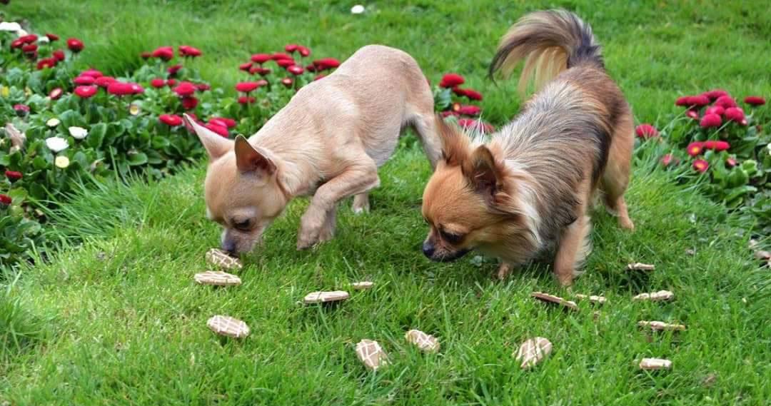 Chasse aux oeufs de Pâques pour chiens - Joyau chihuahua